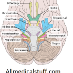 12 cranial nerves and their Functions