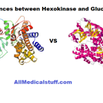 Differences between hexokinase and glucokinase
