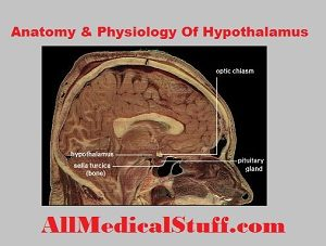 structure and functions of hypothalamus
