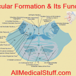 Reticular Formation & Its Structure And Functions