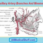 maxillary artery branches and mnemonics