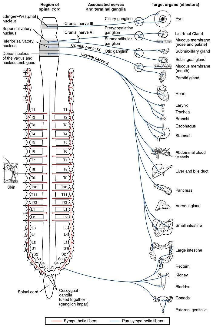 Autonomic Nervous System pdf